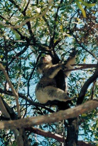 Mel Koala