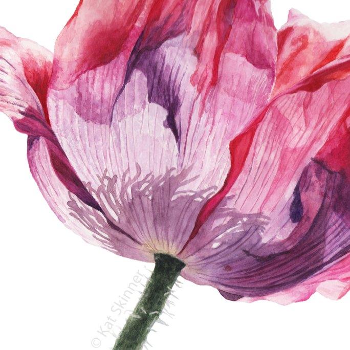 Oriental Poppy Watercolor Painting by Kat Skinner