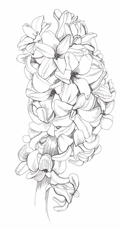 hyacinth phase..