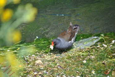 Moorhen And Chick (1)