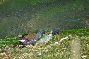 Moorhen And Chick (5)
