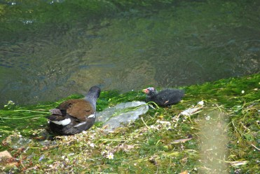 Moorhen And Chick (6)