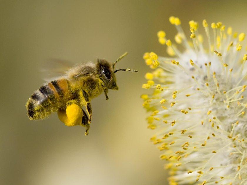 Bee-Collecting-Pollen-1-EOLMC65QSP-1600x1200