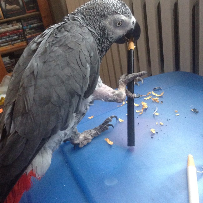 My bird, Asterix, age 26.