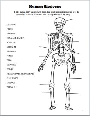 Skeletal System | Human Body