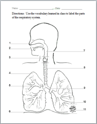 Respiratory System | Human Body