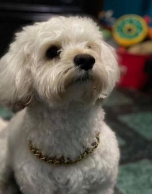 Dog Gold Chain Collar (Cuban Link) photo review