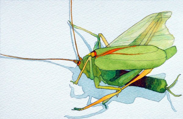 Framed Watercolour: Grasshopper, Close