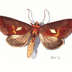 Framed Watercolour: Burnished Brass Moth