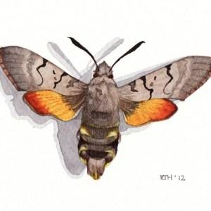Framed Watercolour: Hummingbird Hawk Moth