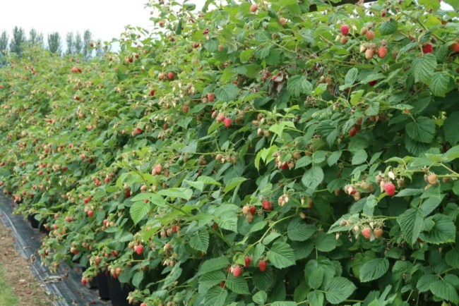Fruit picking at Cammas Hall - A look at the raspberries