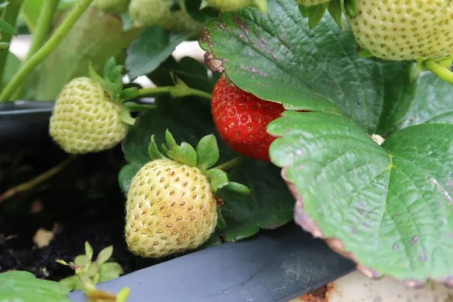 Fruit picking at Cammas Hall - A look at the strawberries
