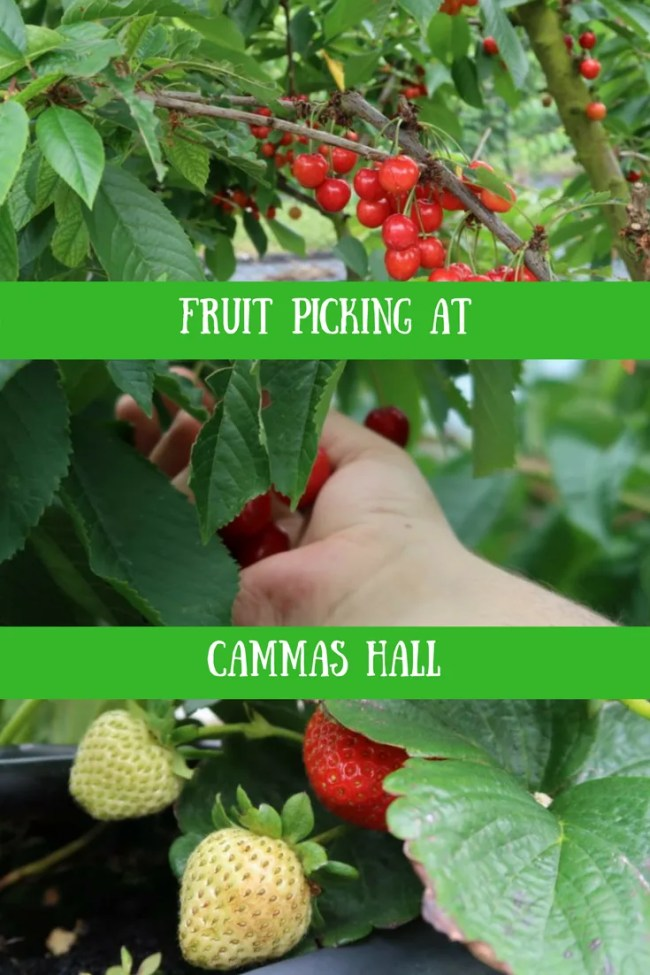 Fruit picking at Cammas Hall, Hatfield Broad Oak is great fun. The prices are frugal, fruit picking is fun and the site is lovely. Days out in Herts & Essex