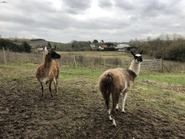 Lee Valley Park Farms - Llamas