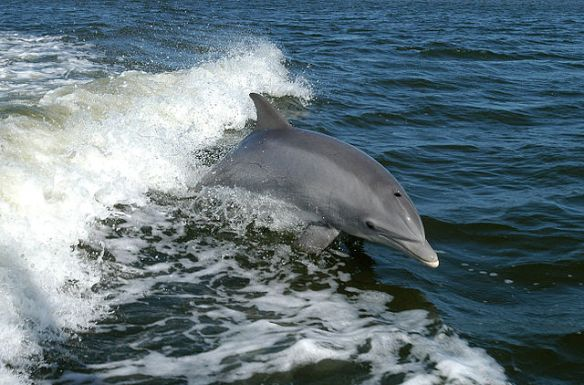 Bottlenose Dolphin photo: NASA
