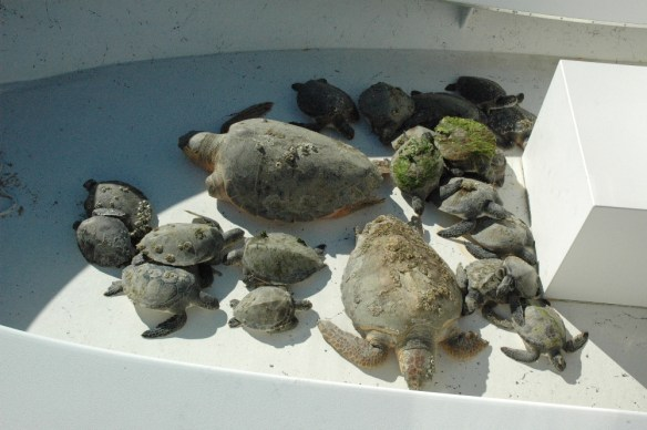 Godfrey-cold-stunned turtles