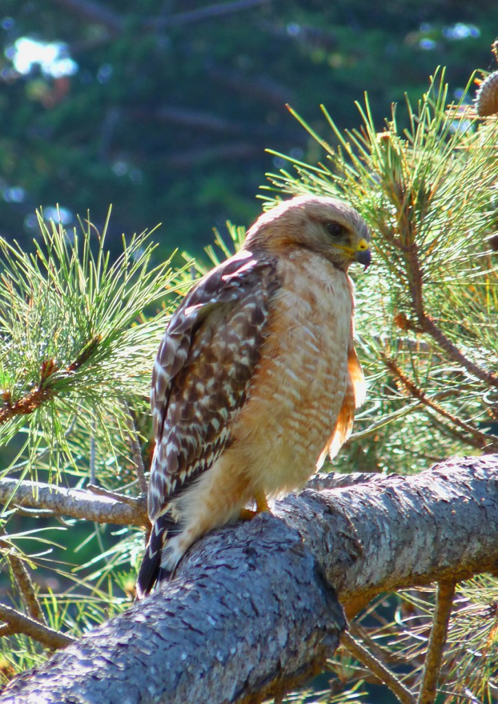 Red-shouldered hawk Photo: Katy Pye All rights reserved