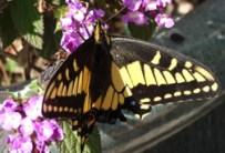 swallowtail 3470rs-cr