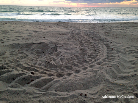 Sea turtle crawl track, Juno Beach FL 4/20/2014. Photo by Adrienne McCracken, Loggerhead Marine Life Center.