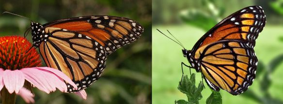 Monarch on left, Viceroy on right. Note black bar across lower wing on Viceroy, absent from Monarch. Can you tell whether the Monarch is a male or female?  Photo: Wikimedia Commons