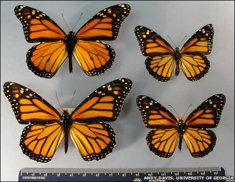 BBC Earth News 'Supersized' Monarchs