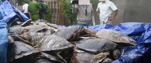 Slaughtered Vietnamese sea turtle trade