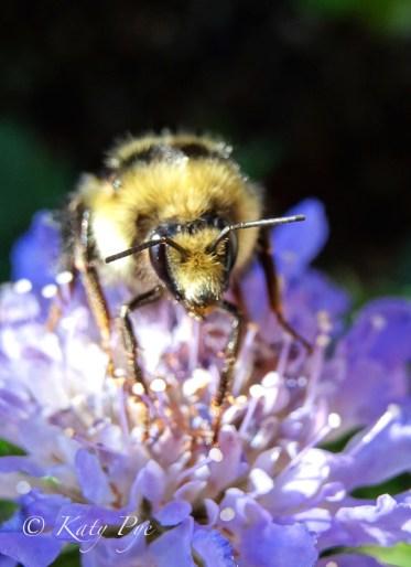 Bumble bee on bachelor button copyright Katy Pye 2017