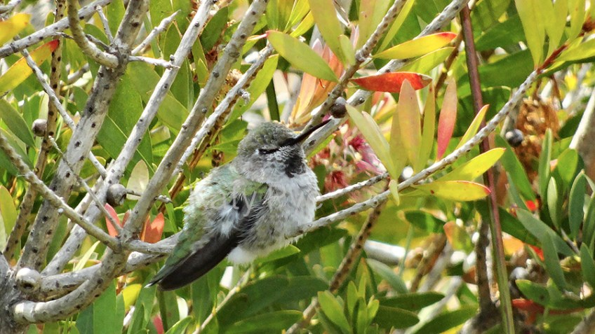 Hummingbird sleeping in Bottlebrush © Katy Pye