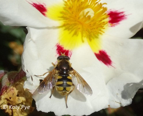 Hover fly sp. 5792cr-KP