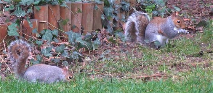 Squirrels and Pigeons in our garden