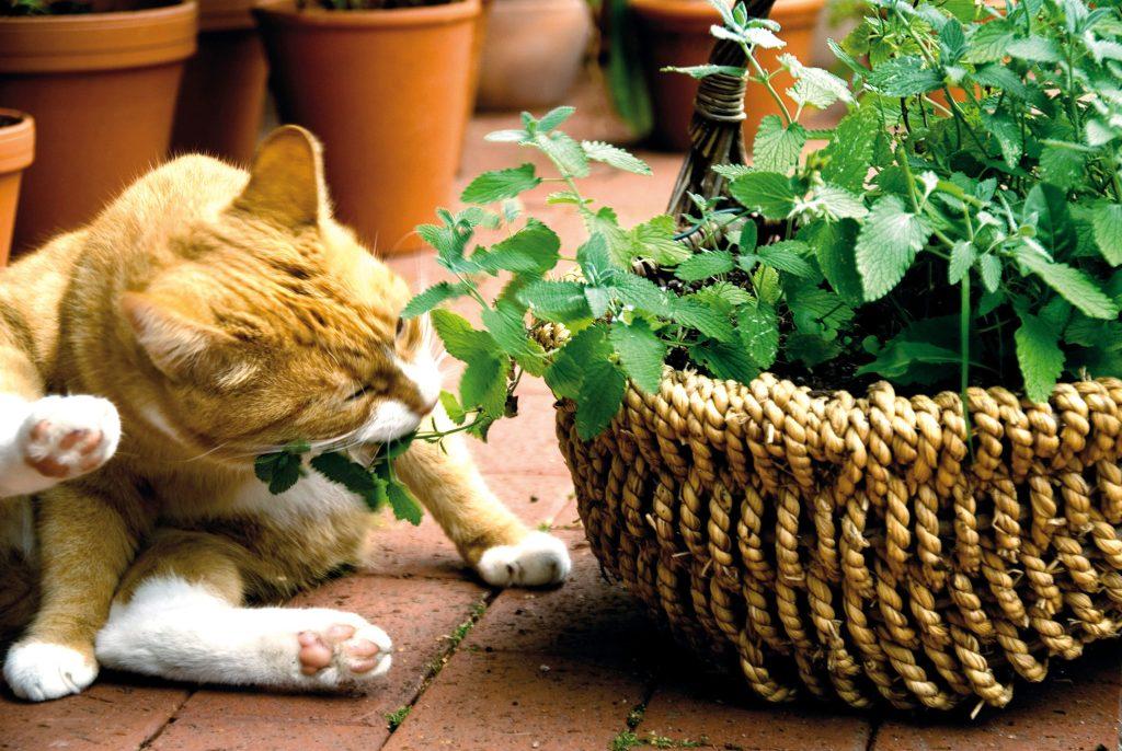 Katzengras und Katzenkräuter - Neben dem Zwerg-Zyperngras sind Katzenminze, Katzengamander und Baldrian beliebte Knabberpflanzen für Katzen.