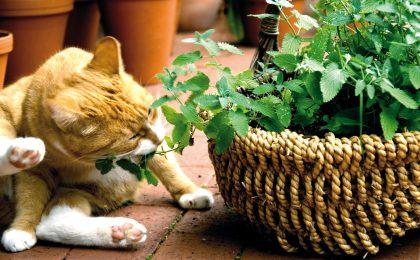 Neben dem Zwerg-Zyperngras sind Katzenminze, Katzengamander und Baldrian beliebte Knabberpflanzen für Katzen.
