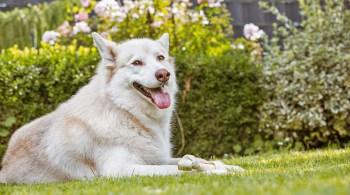 Husky im Garten - Hundebesitzer Garten-bild1