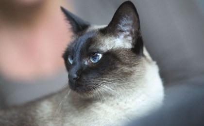 Portrait einer Siamkatze - Dentalpflege für Katzen