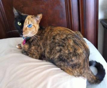 venus-chimera-cat-two-face-half-black-half-tabby-3