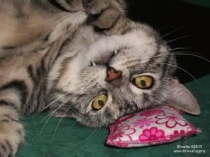 Silvertje Vampire cat