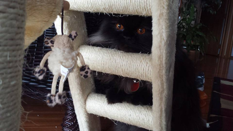 cat tree peek a boo