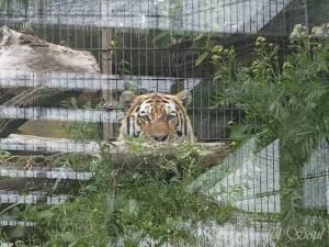 Peeking Tiger