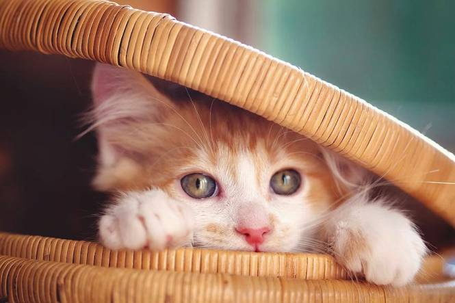 orange-and-white-kitten-in-basket-sarahwolfephotography