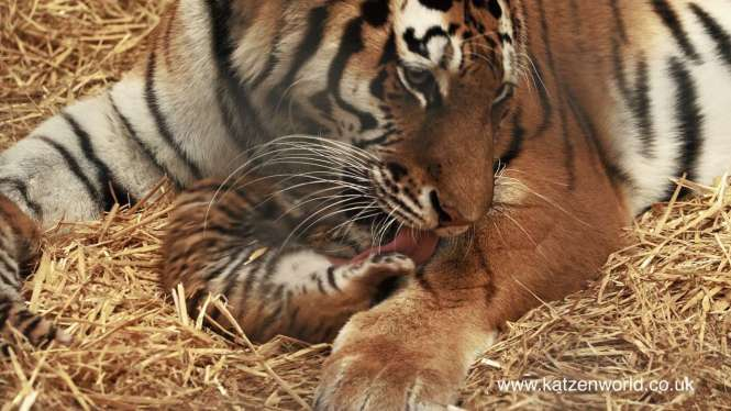 Mother tigress Minerva washing her cub at Woburn Safari Park