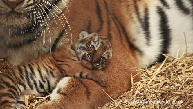 Rare Amur tiger cub at Woburn Safari Park