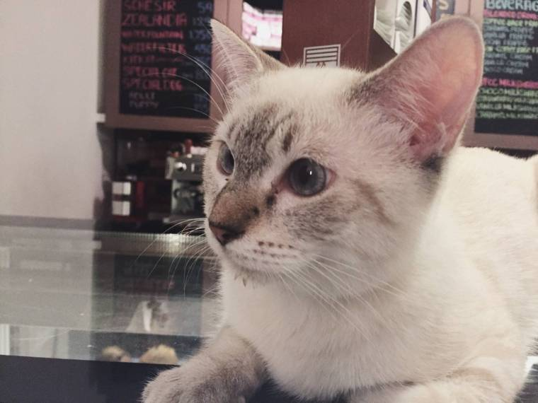 cat in cat cafe