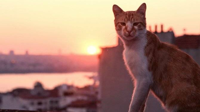 Review of Turkish cat film Kedi