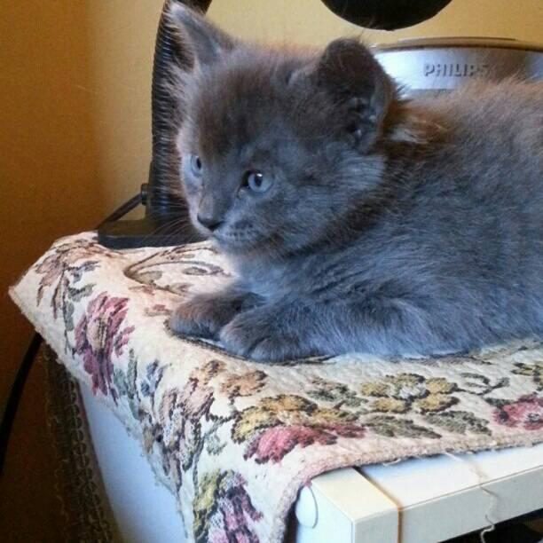 Cats at The Bar: Little Grey Kitten