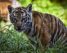 220px-Beautiful_Sumatran_Tiger_Cub_(9711349588).jpg