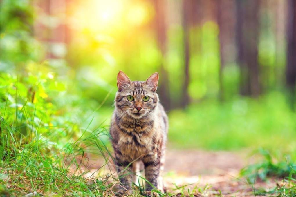 Cute siberian cat walking in the forest