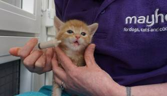 One of the royal kittens being fed by Mayhew's dedicated cattery team