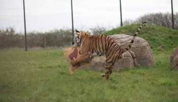 Global Tiger Day Event at Hamerton Zoo Park