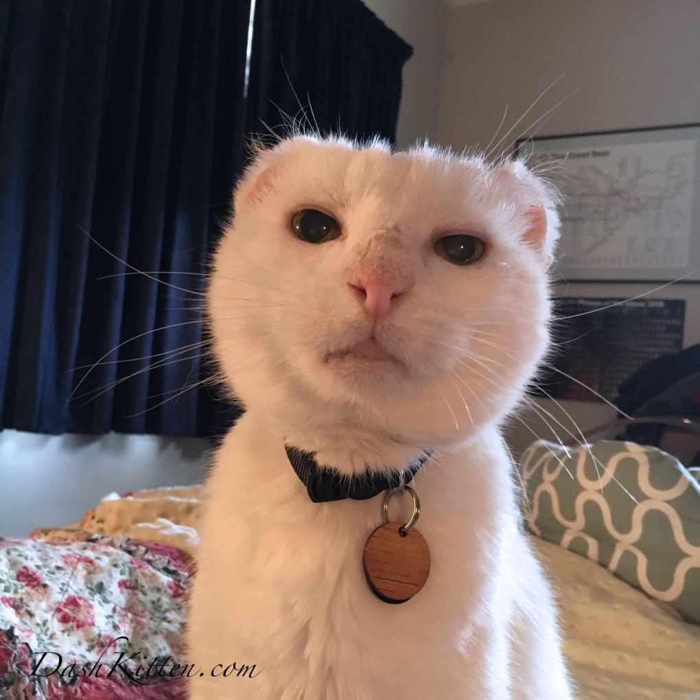 Harvey Closeup White Cat Portrait