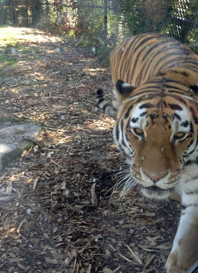 Tigercloseup1